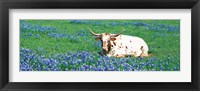 Framed Texas Longhorn Cow Sitting On A Field, Hill County, Texas, USA