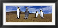 Framed Four King penguins standing on a landscape, Falkland Islands (Aptenodytes patagonicus)