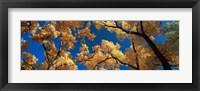 Framed Low angle view of cottonwood tree, Canyon De Chelly, Arizona, USA