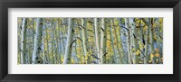 Framed Aspen trees in Spring, Rock Creek Lake, California