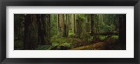 Framed Hoh Rainforest Trees, Olympic National Park
