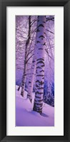 Framed Birch trees at the frozen riverside, Vuoksi River, Imatra, Finland