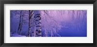 Framed Birch tree at a riverside, Vuoksi River, Imatra, Finland