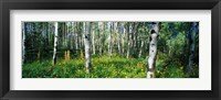 Framed Field of Rocky Mountain Aspens
