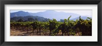 Framed Grape vines in a vineyard, Napa Valley, Napa County, California, USA