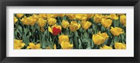 Framed Yellow tulips in a field