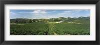 Framed High angle view of a vineyard, Carneros District, Napa Valley, Napa County, California