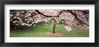 Framed Cherry Blossom tree in a park, Golden Gate Park, San Francisco, California, USA