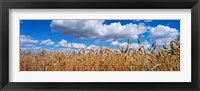 Framed Wheat crop growing in a field, near Edmonton, Alberta, Canada