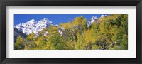 Framed Forest with snowcapped mountains in the background, Maroon Bells, Aspen, Pitkin County, Colorado, USA