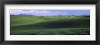 Framed Wheat field on a rolling landscape, near Pullman, Washington State, USA