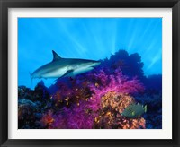 Framed Caribbean Reef shark (Carcharhinus perezi) and Soft corals in the ocean