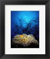 Framed Mat anemone and Allard's anemonefish (Amphiprion allardi) in the ocean