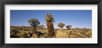Framed Different Aloe species growing amongst the rocks at the Quiver tree (Aloe dichotoma) forest, Namibia