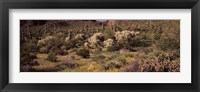 Framed Saguaro cacti (Carnegiea gigantea) on a landscape, Organ Pipe Cactus National Monument, Arizona, USA