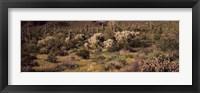 Framed Saguaro cacti (Carnegiea gigantea) on a landscape, Organ Pipe Cactus National Monument, Arizona, USA