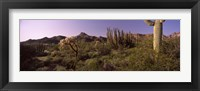 Framed Organ Pipe cactus, Arizona
