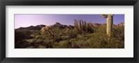Framed Organ Pipe cactus, Arizona