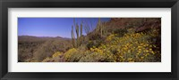 Framed Organ Pipe cactus and yellow wildflowers, Arizona