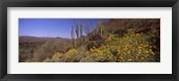 Framed Organ Pipe cactus and yellow wildflowers, Arizona