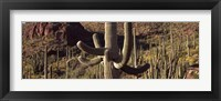 Framed Cacti on a landscape, Arizona