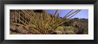 Framed Plants on a landscape, Organ Pipe Cactus National Monument, Arizona (horizontal)