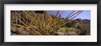 Framed Plants on a landscape, Organ Pipe Cactus National Monument, Arizona (horizontal)