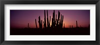 Framed Silhouette of Organ Pipe cacti (Stenocereus thurberi) on a landscape, Organ Pipe Cactus National Monument, Arizona, USA