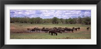 Framed Herd of Cape buffaloes (Syncerus caffer) use a mud hole to cool off in mid-day sun, Kruger National Park, South Africa