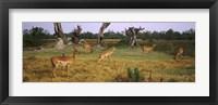 Framed Herd of impalas (Aepyceros Melampus) grazing in a field, Moremi Wildlife Reserve, Botswana