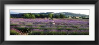 Framed Woman walking with basket through a field of lavender in Provence, France
