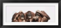Framed Close-up of three orangutans