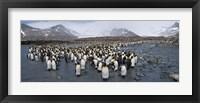 Framed King penguins colony, St Andrews Bay, South Georgia Island