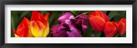 Framed Close-up of tulip flowers