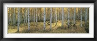 Framed Aspens, Ashley