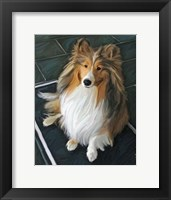 Framed Sheltie Bred to Bark