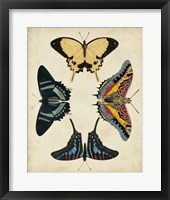 Display of Butterflies III Framed Print