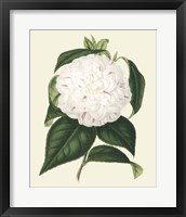 Framed Antique Camellia I