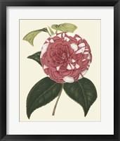Framed Antique Camellia II