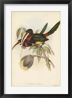 Framed Tropical Toucans VIII