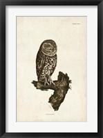 Framed Little Owl