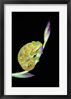 Framed Close-up of a chameleon sitting on a flower, Tanzania