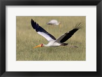 Framed Yellow-billed stork flying above a field