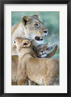 Framed Close-up of a lioness and her two cubs, Ngorongoro Crater, Ngorongoro Conservation Area, Tanzania (Panthera leo)