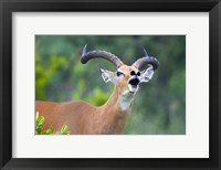 Framed Close-up of an impala (Aepyceros melampus)