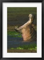 Framed Hippopotamus Yawning, Lake Manyara, Arusha Region, Tanzania