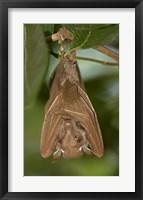 Framed Close-up of a bat hanging from a branch, Lake Manyara, Arusha Region, Tanzania