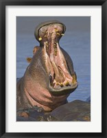 Framed Close-up of a Hippopotamus, Lake Manyara, Arusha Region, Tanzania