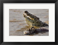 Framed Nile crocodile with a dead wildebeest in a river, Masai Mara National Reserve, Kenya (Crocodylus niloticus)