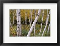 Framed White Birch Trees